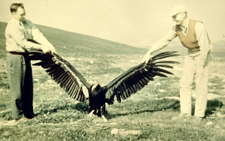 California Condor Recovery