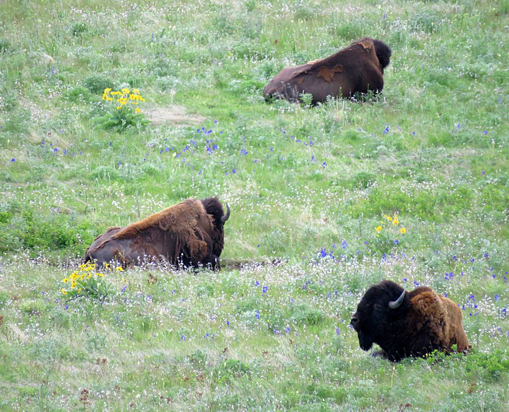 On the Trail of the North American Buffalo