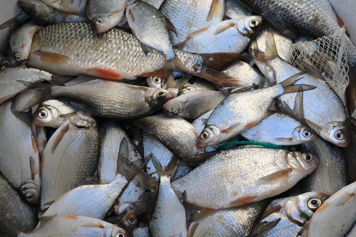 Hoitokalastus Jarven Kunnostuksessa