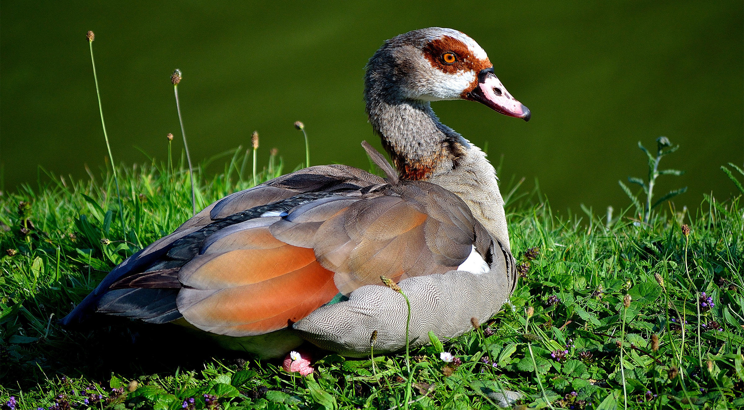 The Egyptian goose in Sweden