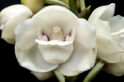La Flor Nacional De Panamá Peristeria Elata