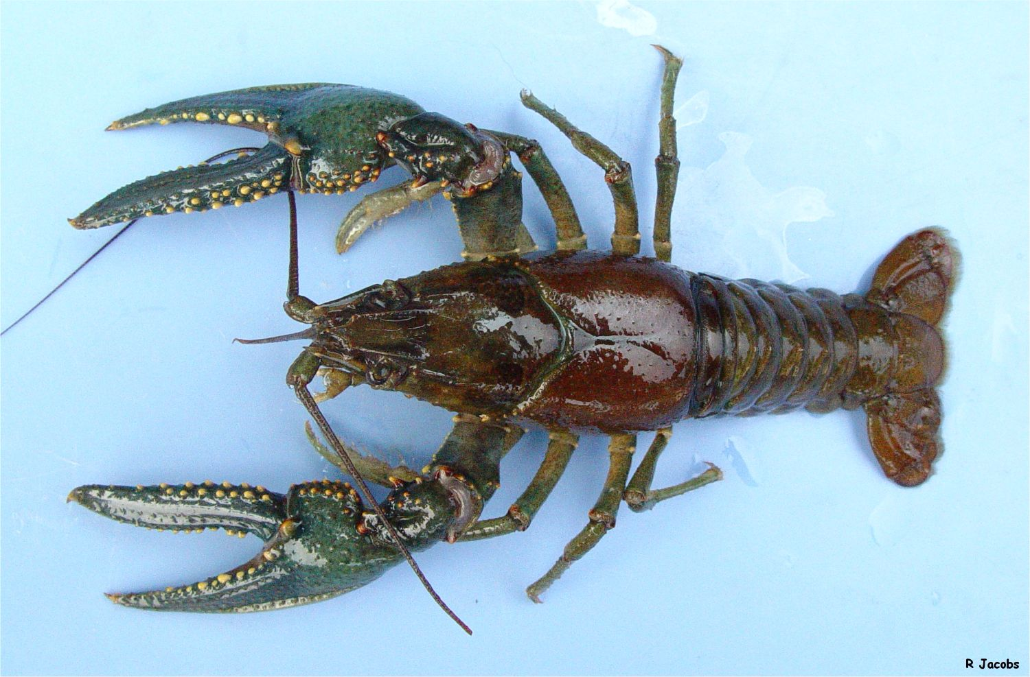 An Atlas Of The Crayfish Of Connecticut
